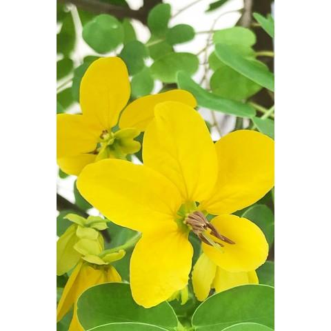 Augaliniai šviesių ar žilų plaukų dažai SUNRISE, Khadi Naturprodukte, 100g