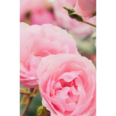 Ajurvedinis atstatantis šampūnas Rose Repair Elixir, Khadi Naturprodukte, 200ml